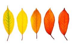 Classificar das folhas de outono diferentes isoladas no fundo branco Imagem de Stock