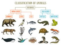 Classification of Animals. Reptiles amphibians mammals birds. Crocodile Fish Bear Tiger Whale Snake Frog. Education. Diagram of biology. Engraved hand drawn old vector illustration