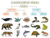 Classification of Animals. Reptiles amphibians mammals birds. Crocodile Fish Bear Tiger Whale Snake Frog. Education vector illustration