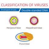 Classification of viruses. Enveloped viruses. Vector biology icons, medical virus icons Stock Images