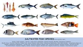 Classificazione dell'acqua salata di specie dei pesci isolata Fotografie Stock