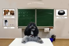 Classroom of dog school and teacher. Classroom of the dog university . The poodle  dog teacher sits at the desk At the blackboard mathematics tasks Royalty Free Stock Images