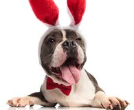 Classy american bully with funny face wearing red rabbit ears. Pants and looks up to side while lying on white background stock image