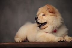 Classy chow chow resting on wooden table blinking and panting. On grey wallpaper background royalty free stock photo