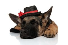 Classy german shepard wearing black capt with red ribbon sleeps. Classy german shepard wearing black cap with red ribbon sleeps with eyes closed while lying on royalty free stock photography