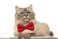 Classy grey cat with red bowtie lying with paws hanging. Looks to side on white background Royalty Free Stock Photo