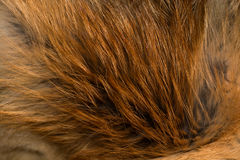 Classy and luxurious red fox fur. Royalty Free Stock Photography