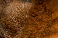 Classy and luxurious red fox fur, Royalty Free Stock Photo