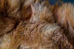 Classy and luxurious red fox fur. Classy and luxurious red fox fur Stock Images