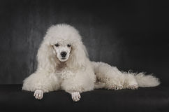 Classy Poodle Stock Photography