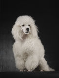 Classy Poodle Stock Images