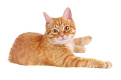 Classy red cat. Lying on the floor Stock Photos