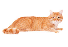 Classy red cat Stock Image