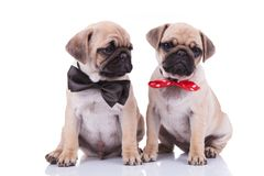 Classy seated pug couple wearing adorable bowties. One black and the other red with white dots while sitting on white background stock photo
