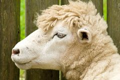 Classy Sheep Stock Photos