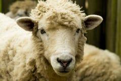 Classy Sheep Royalty Free Stock Photography