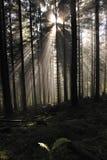 Éclat de rayon de soleil d'or par la forêt verte. Photographie stock libre de droits