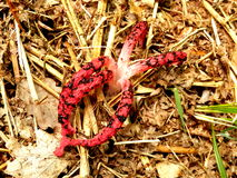 Clathrus archeri Stock Photo