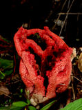 Clathrus ruber. Mushroom Clathrus ruber also called Heart of witch or Lantern mushroom or Red clatro royalty free stock photos