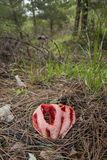 Clathrus ruber is species van paddestoel in de stinkhornfamilie, en de typespecies van de soort Clathrus Het is stock afbeeldingen
