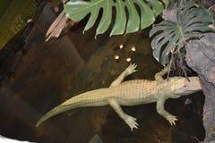 Claude albinosa aligator, akademia nauk obraz royalty free