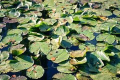 Claude Monet il giardino in autunno, ninfee nel lago un giorno soleggiato Immagine Stock Libera da Diritti