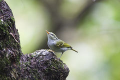 Claudia's Leaf Warbler Royalty Free Stock Image