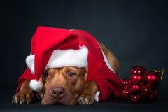claus santa Гном, карлик, лепрекон Собака, питбуль в одеждах Санта Клауса Стоковое фото RF