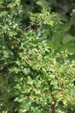 Clava-herculis Zanthoxylum (лист и позвоночники) Стоковые Фото
