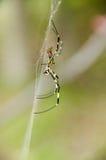 clavatanephilaspindel royaltyfria foton