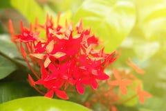 Clave la flor que florece bajo luz del sol de la mañana en verano S imagenes de archivo