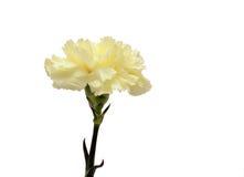 Clavel amarillo Foto de archivo libre de regalías