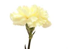 Clavel amarillo Imagen de archivo libre de regalías
