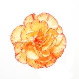 Clavel anaranjado Fotografía de archivo
