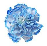 Clavel azul Foto de archivo libre de regalías