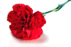 Clavel de la tarjeta del día de San Valentín fotos de archivo libres de regalías