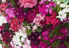 Clavel Del Poeta, Minutisa, Clavelina - Dianthus barbatus Zdjęcia Royalty Free