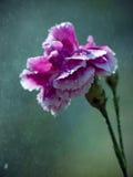 Clavel en la lluvia Imagen de archivo libre de regalías