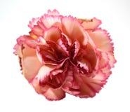 Clavel rosado Imagen de archivo libre de regalías