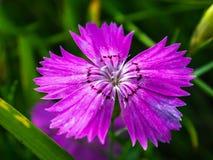Clavel rosado en el prado en verano Foto de archivo libre de regalías