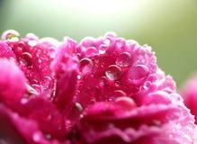 Clavel rosado mojado Foto de archivo libre de regalías