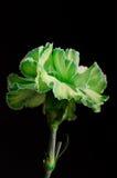 Clavel verde en el fondo negro Verticle Imagen de archivo