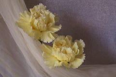 Claveles amarillos hermosos fotos de archivo libres de regalías
