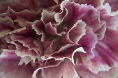 Claveles coloridos Foto de archivo libre de regalías