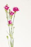 Claveles en florero claro Fotografía de archivo