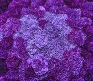 Claveles púrpuras Foto de archivo libre de regalías