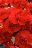 Claveles rojos Foto de archivo libre de regalías