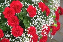 Claveles rojos con el gypsophila de las flores blancas con las hojas verdes Fotos de archivo libres de regalías