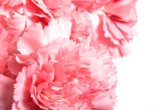 Claveles rosados Imagen de archivo libre de regalías