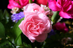 Claveles rosados fotografía de archivo libre de regalías